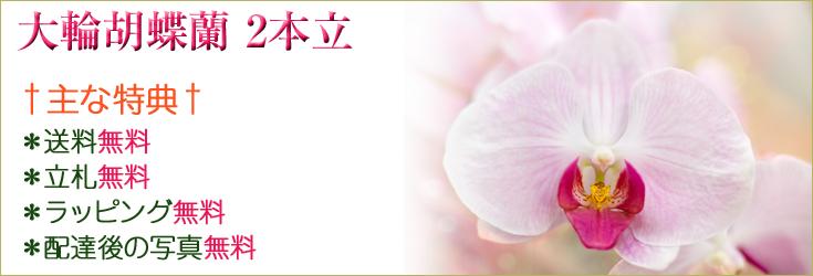 大輪胡蝶蘭 2本立 商品一覧|フラワーギフト通販 ミーム
