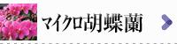 マイクロ胡蝶蘭 商品一覧へ
