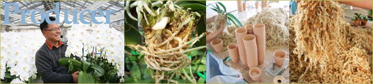 大輪胡蝶蘭 おぎの蘭園 素焼きポットと水苔へのこだわり