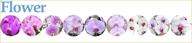 協力胡蝶蘭生産地、オズオーキッドの胡蝶蘭